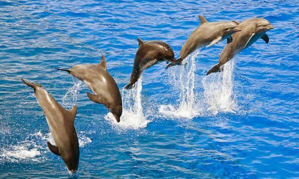 delfiny-v-pryzhke